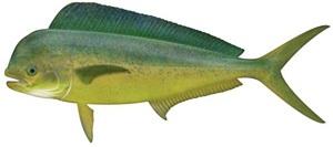 Gaffer Dolphin / Mahi